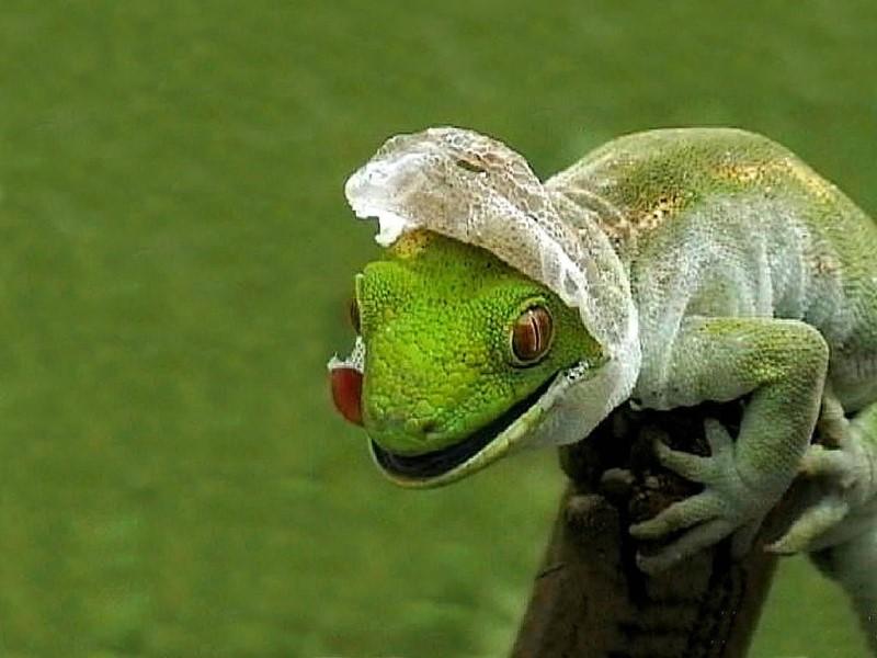 Ящерица линяет